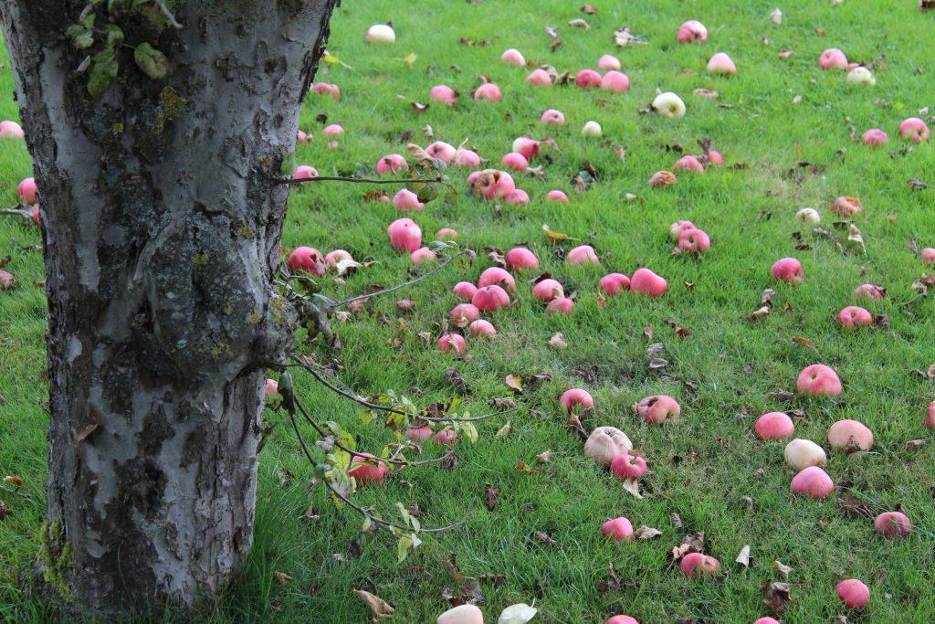 Æbletræ i haven