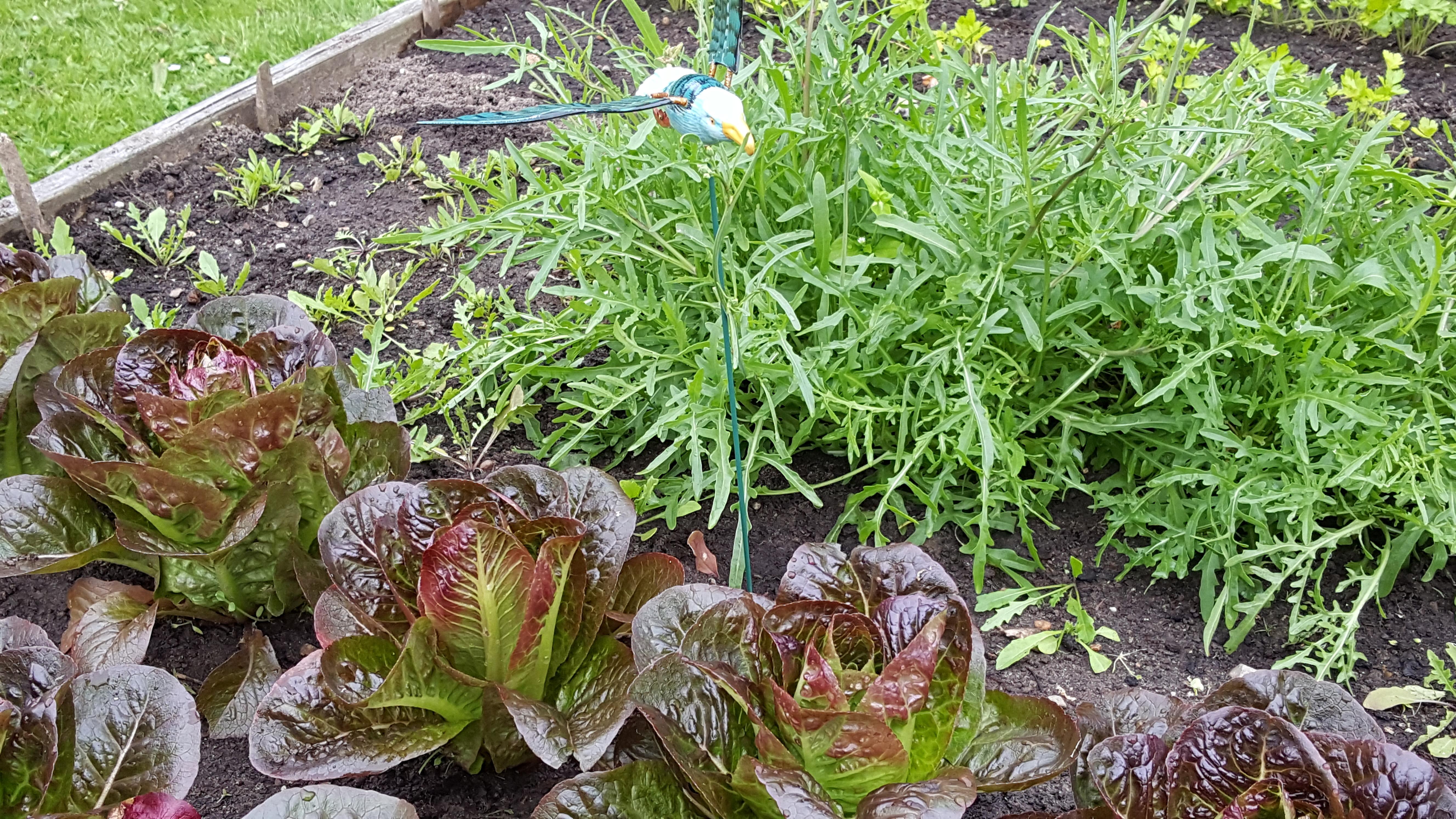 Skønne grønne salater i højbedet og en bornholmsk måge ;)